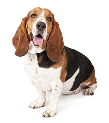 tri-colored basset hound
